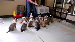 Scotch Collie Puppies sitting for treats