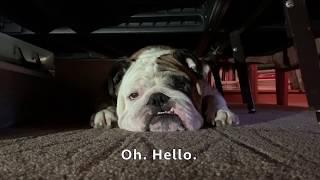 reuben-the-bulldog-the-dog-who-cried-wolf
