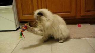 Bonnie Playing -- Himalayan Kitten Cat -- Sweet Adorable Kitty