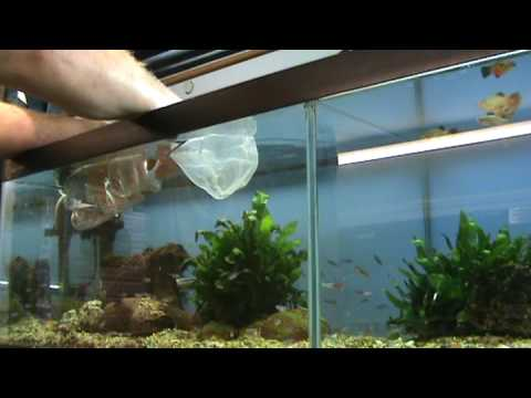 Aquarium Tips - How to easily catch small tropical fish