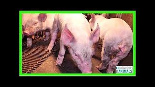 Une vidéo dénonce les effroyables conditions de transport par cargo de milliers de moutons vers l'A