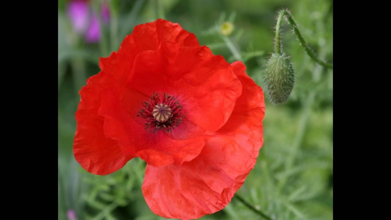 Red Poppy Flower Youtube
