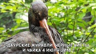 ДАУРСКИЕ ЖУРАВЛИ, ЧЁРНЫЕ АИСТЫ И ЧАЙКА 4 ИЮЛЯ 2018 Г.