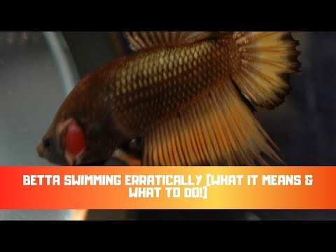 Betta Swimming Erratically (What It Means & What To Do!)