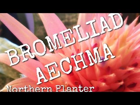 Bromeliad Aechmea Primera 101