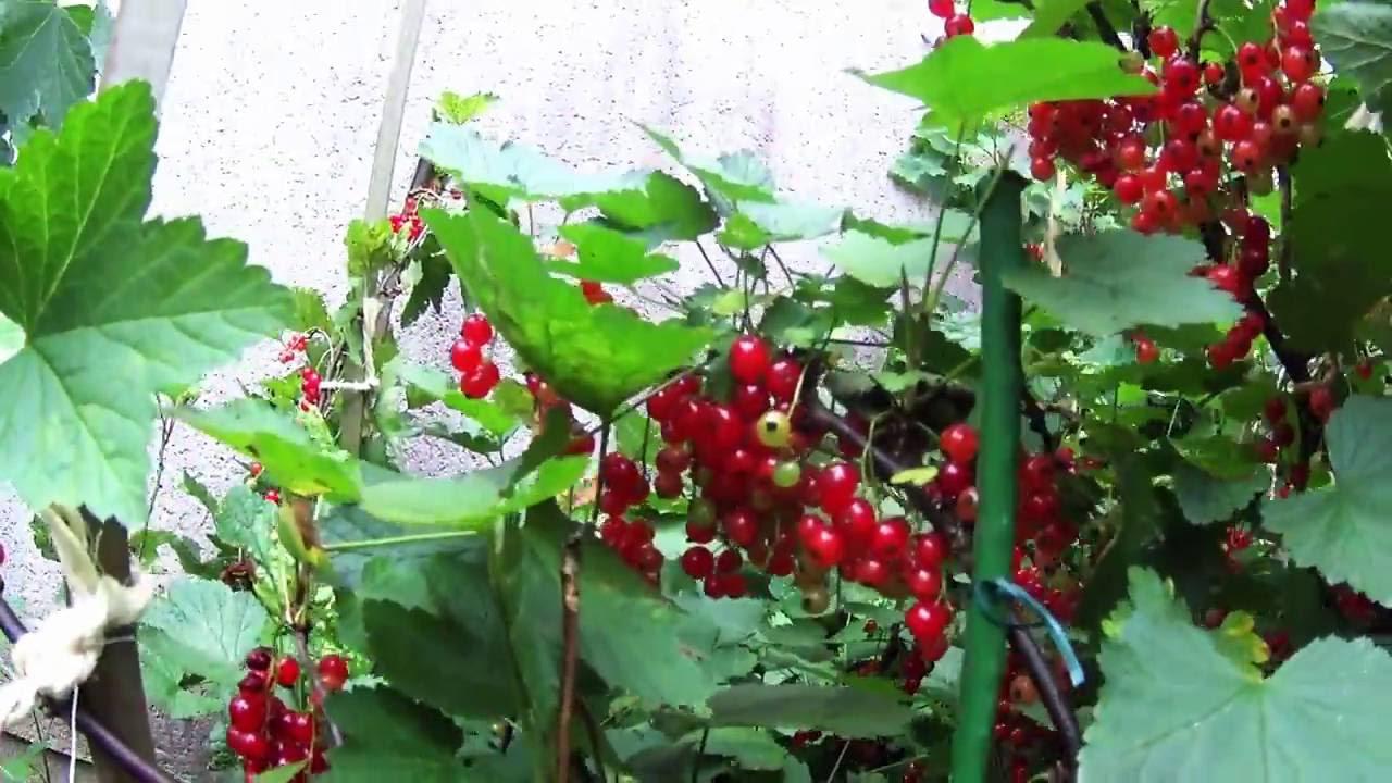 6 mn pour tailler en vert tous les arbres fruitiers youtube - Tailler les arbres fruitiers ...
