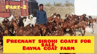 Pregnant sirohi goats for sale, Dayma Goat farm