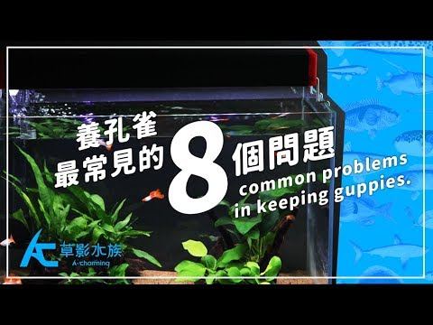 養孔雀「最常見的8個問題」|養魚人森|AC草影水族 - 8 common problems in keeping guppies.