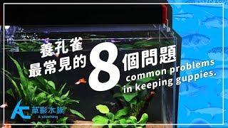 養孔雀「最常見的8個問題」|養魚人森|AC草影水族 - 8 common problems in keeping guppies.