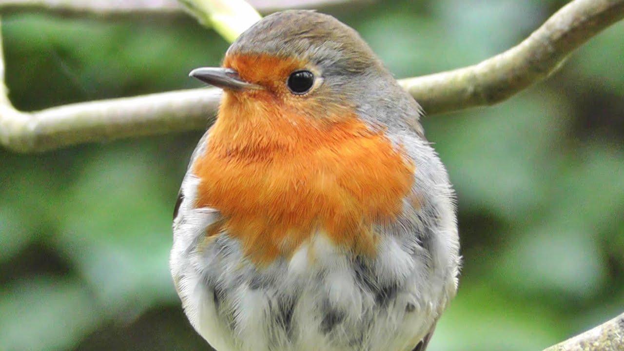 Robin Red Breast Bird - Great Britain's National Bird ...