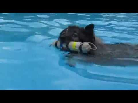 Clancy the Keeshond in Chase-It Ultimate Air Dogs swimming contest