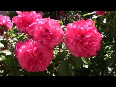 Цветение розы Rosarium Uetersen . 29.06.18