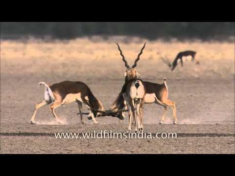 Sparring Blackbuck antelope in the Tal Chappar region of Rajasthan