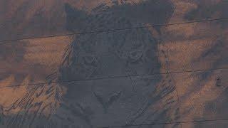 На Орлиной сопке во Владивостоке появился дальневосточный леопард.