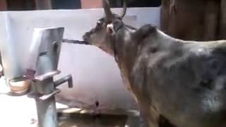 Cow drinks water in Hand Pump - Funny Videos of India