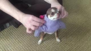 Чихуахуа и свитер