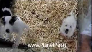 West Higland White Terrier - Cocker Spaniel - Jack Russel Zampa Lunga Planetpet.it
