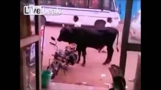 Bull Tries to Hump a Bike
