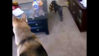 Great Dane Puppy Chases German Shepherd!