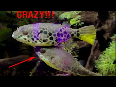 Fish Room Tour Of Rare Freshwater Pufferfish (Congo Spotted Puffer)