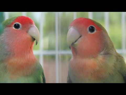 LOVEBIRDS HD