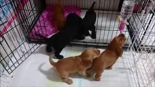 子犬達だいぶん成長してきました。 ほんと可愛い♪ 【イングリッシュコッ...