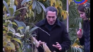 В Дагестане будут выращивать киви