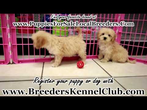Goldendoodle, Puppies For Sale, In Knoxville, County, Tennessee, TN, 19Breeders, Murfreesboro
