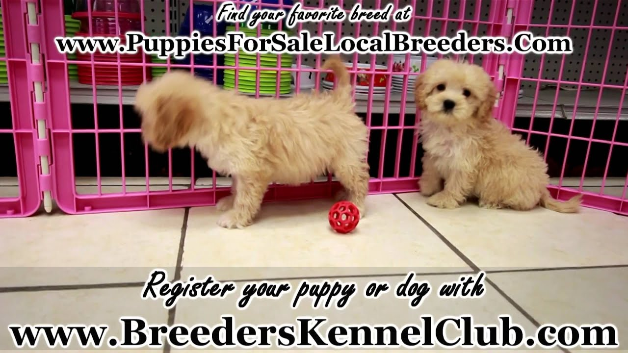 Goldendoodle Puppies For Sale In Knoxville County Tennessee Tn