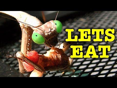 Praying Mantis Eating Ultimate Garden Predator