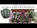 八重マーガレットのハンギングバスケット【ウチ花】ボリューミーに作る!わかりやす…