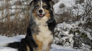 ***Australian Shepherd Potty-Training Free-Mini Course***