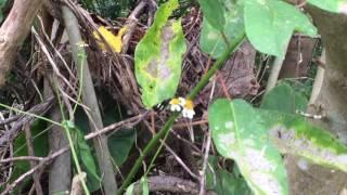 クロセセリ / Notocrypta curvifascia 沖縄乙羽岳 2015/09/28 butterfly of Japan, Okinawa