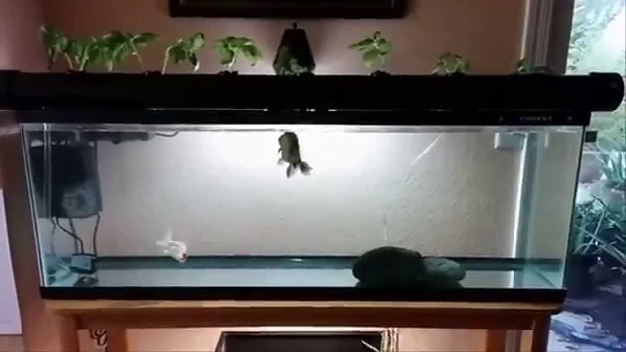 55 gallon fish tank update indoor aquaponics 2014 youtube for 55 gallon fish tank for sale