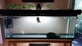 55 gallon fish tank update indoor aquaponics 2014