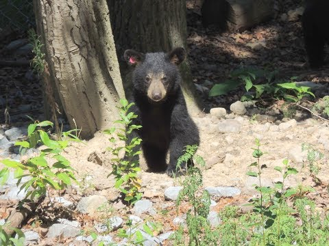 Moving Day for 8 Black Bear Cubs at WCV July 25, 2017
