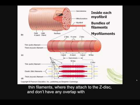 skeletal muscle contraction, reflex arcs, Part A