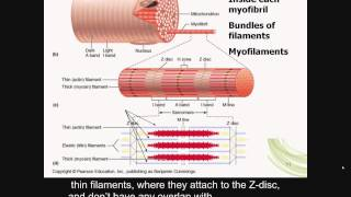skeletal muscle contraction, reflex arcs, Part A