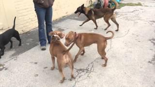 Remy, Dog Aggression And Socialization Progress