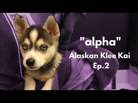 ''alpha'' Alaskan Klee Kai - Miniature Husky | Ep.2