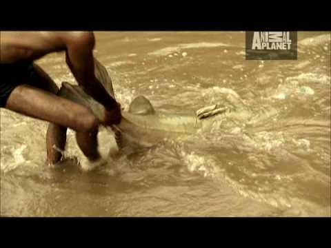 Video Goonch catfish size