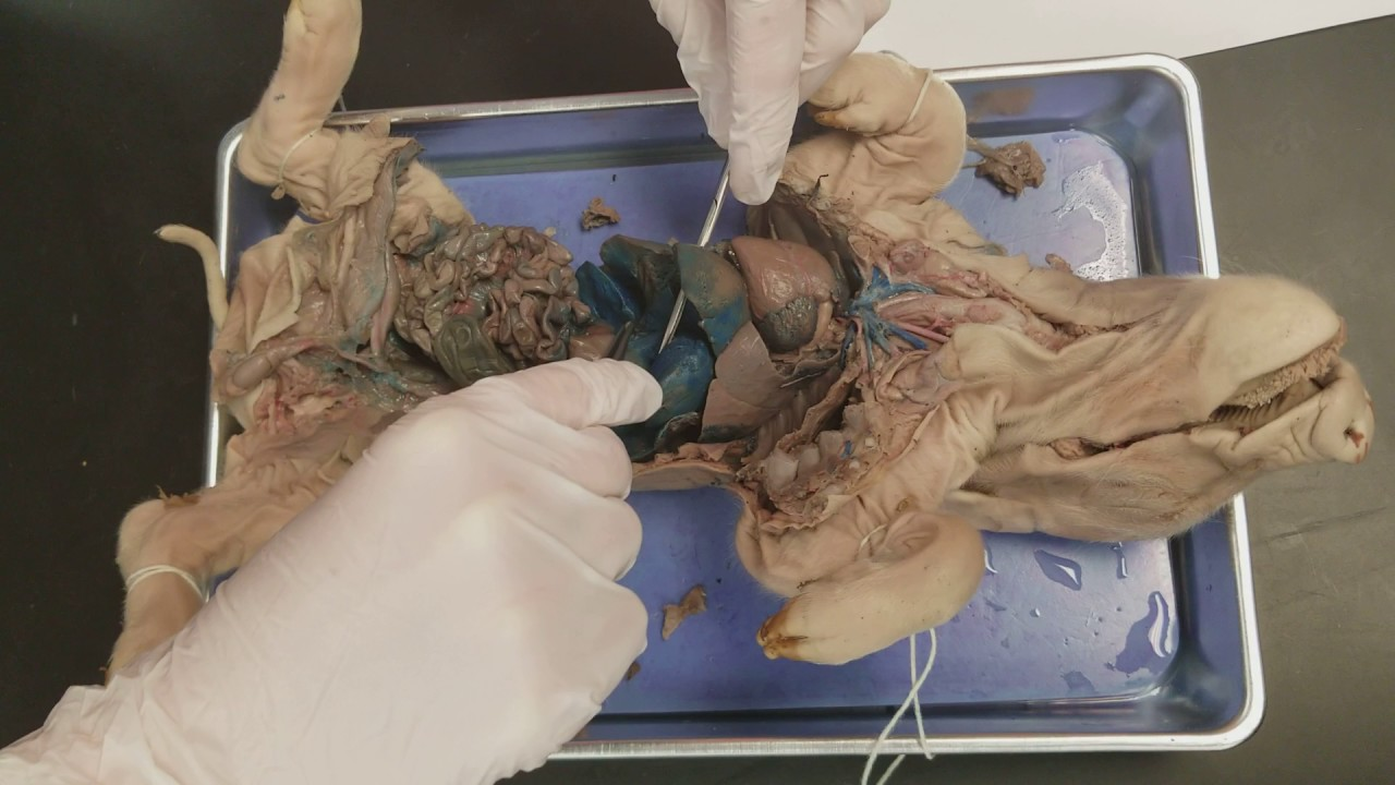 Anatomy 101 with Meg and Friends: Fetal Pig Digestive ...