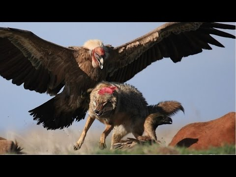 TOP 5 BEST EAGLE ATTACK ANIMALS-TOP 5 BEST EAGLE VS WOLF,DEER,KANGAROO-TOP 5 BEST EAGLE HUNTING