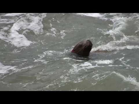 Over 100 Miles Upriver Sea Lions Eating Fish At Bonneville Dam Spillway