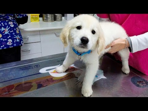 Puppy's First Visit to the Vet. Golden Retriever Puppy The First Time At Doctor!