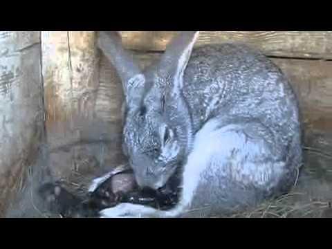 Окрол или роды крольчихи.