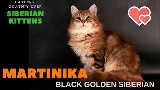 Siberian kitten Martinika,  cattery Znatniy Zver