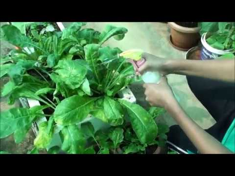 how to use neem oil for spraying on plants youtube. Black Bedroom Furniture Sets. Home Design Ideas