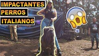 Mastín Napolitano ¡GRAN COMPETENCIA! (perros gigantes)