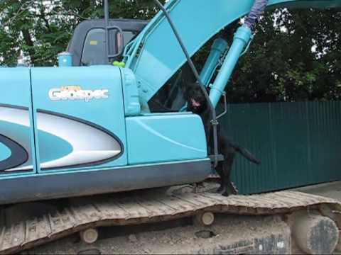Labrador Bin climbs on excavater to get object
